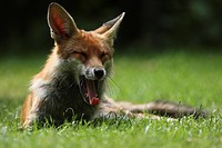European Red Fox Vulpes vulpes adult, yawning, resting on lawn in urban garden, London, England, may