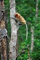 Proboscis Monkey Nasalis larvatus adult male, climbing tree trunk, Labuk Bay, Sabah, Borneo, Malaysia