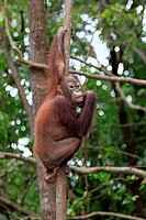 Bornean Orang_utan Pongo pygmaeus young, sitting in tree, Sabah, Borneo, Malaysia