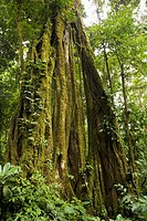 Strangler Fig Ficus aurea growing in the Monteverde Cloud Forest Reserve, Costa Rica