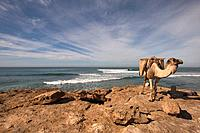 Camel standing on rock by the sea, Morocco, North Africa