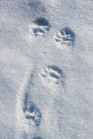 Fisher Martes pennanti Fresh tracks in snow