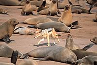 Africa, Namibia, Cape Cross, cape fur seal and black_backed jackel