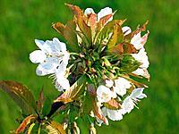 Spring time cherry blossom