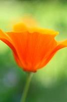Beautiful orange poppies in the garden