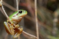 Common tree frog Hyla arborea in Valdemanco, Madrid, Spain