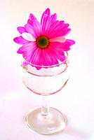 pink daisy in water