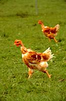 Two chickens running through a meadow