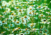 Camomile flowers, Summer
