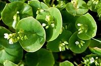 Miner´s Lettuce (Montia perfoliata)