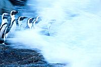 Group of Black_footed penguins being splashed by wave