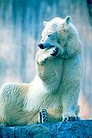 Polar bear yawning in zoo enclosure