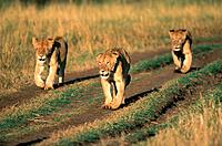 Three lionesses walking on dirt road