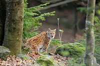 Carpathian Lynx Lynx lynx carpathicus in Bavarian Forest National Park, Bavaria, Germany