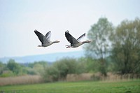Two Greylag Geese Anser anser flying, Altmuehlsee, Bavaria, Germany