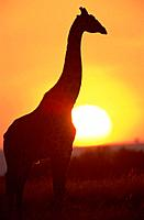 Silhouette of Giraffe at Sunset