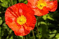 Red Iceland Poppies