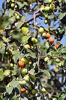 Fruits , jujube ziphus mauritiana chinese date raw and ripe with leaves on branches