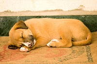 One young puppy sleeping relax on his bed , Parli , Vaijanath , Beed , Maharashtra , India PR762N