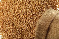 Grain , wheat in jute sack spread on white background