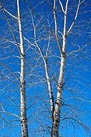 Aspen trees in spring