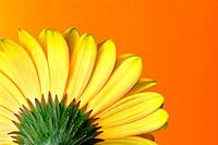 Yellow_orange Gerbera Back on Orange Background