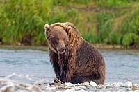 Alaska , Katmai National Park and Preserve , Grizzly bear  Ursus arctos horribilis  , order : carnivora ,family : ursidae ,