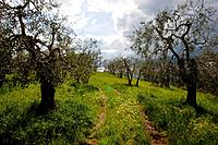 A Tuscan olive orchard on a beautiful spring day.