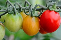 Home grown tomatoes ripening on the vine, 'Harlequin', Norfolk, England, July