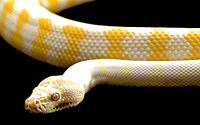 An Albino Darwin carpet python on black studio background.