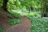 Wild Garlic in McIntosh Park Knaresborough North Yorkshire England