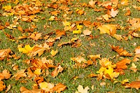 autumn maple orange leaves on the ground