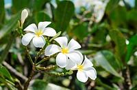 Whiteplumeria