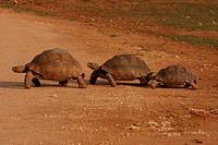 leopard tortoise Geochelone pardalis, familiy, South Africa, Eastern Cape, Addo Elephant National Park