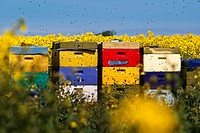 colourful bee_hives at a rape field, Germany, Schleswig_Holstein, Sylt