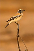 desert wheatear Oenanthe deserti, siting on a sprout, Oman