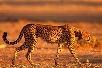 cheetah Acinonyx jubatus, hunting, South Africa, Northern Cape, Kgalagadi Transfrontier NP