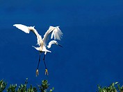 little egret Egretta garzetta, starting from a treetop, Turkey, Bafasee