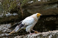 France, Lot , Egyptian Vulture  Neophron percnopterus  , Order : Falconiformes , Family : Accipitridae.