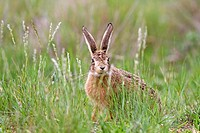 France, Lot, European hare Lepus capensis.