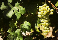 bunch of white grapes and vine leaves in field, Güímar, Tenerife, Canary Islands, Spain