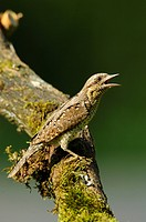 northern wryneck Jynx torquilla, sitting on a tree trunk , Germany, Baden_Wuerttemberg