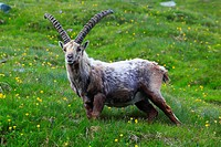 alpine ibex Capra ibex, buck standing in a mountain meadow at the Niederhorn, Switzerland, Bernese Oberland