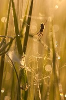 spider in its weg in the morning, Germany, Rhineland_Palatinate
