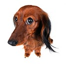 Long_haired Dachshund, Long_haired sausage dog, domestic dog Canis lupus f. familiaris, looking naiveness to camera, Germany