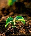 Soy Bean Seedling, Dorchester, Ontario