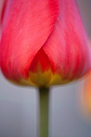 Close_up of red tulip, studio shot