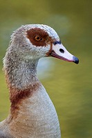 Egyptian Goose Alopochen aegyptiacus, portrait, Trier, Germany