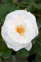 ornamental rose Rosa ´Weisser Engel´, Rosa Weisser Engel, cultivar Weisser Engel