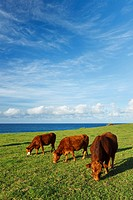 Hawaii, Maui, Ho´okipa, Cows grazing in pasture near sunset.